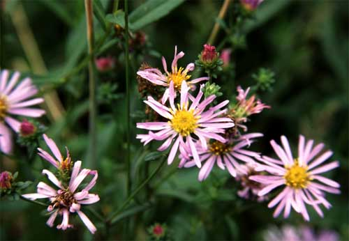 Common California aster: now it's a Symphyotrichum.