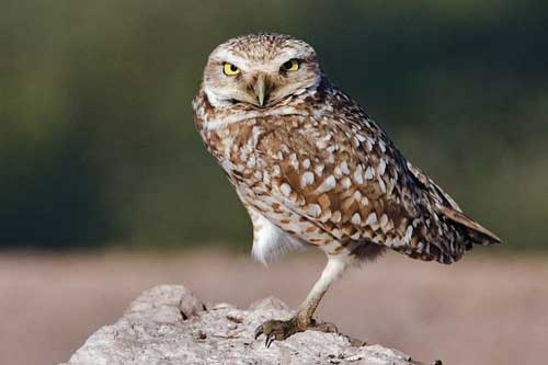 Burrowing owl near Niland, Imperial County