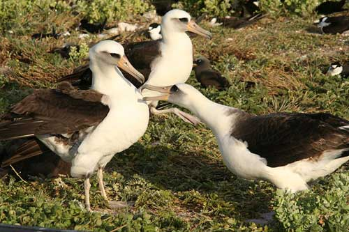 Courting Laysan albatrosses on Tern Island, Hawaii.