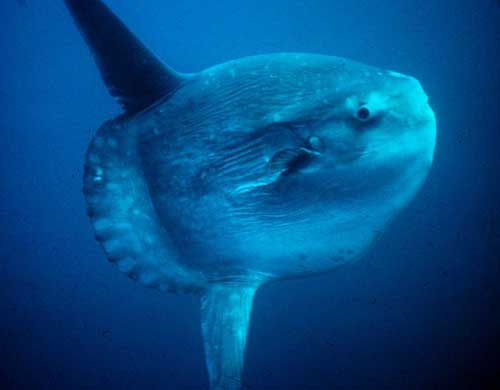 "Ocean sunfish, AKA ""swimming head."""