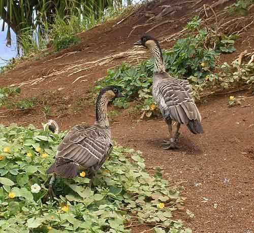 Two nene on Kaua'i: relatively normal geese.