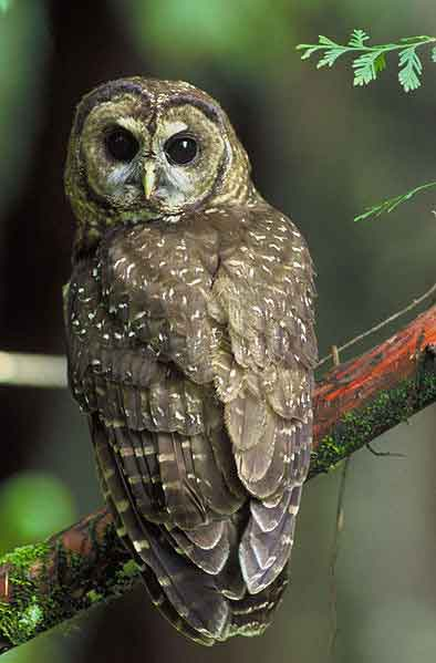 Does the northern spotted owl face extinction by assimilation? Credit: