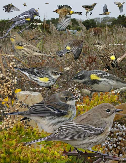 Warblers: A mob of yellow-rumped warblers, including the western Audubon's subspecies.