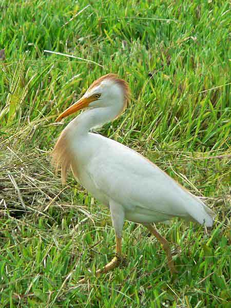 Cattle egret in breeding plumage: adaptable predator.