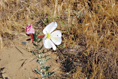 Antioch Dunes evening primrose with unknown insect.