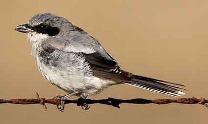 Loggerhead shrikes have learned how to use barbed wire