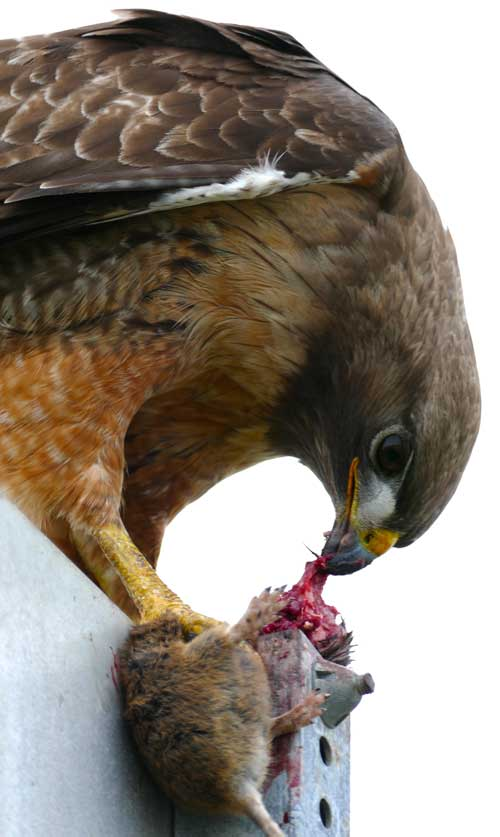 Red Tailed Hawk eating a rat