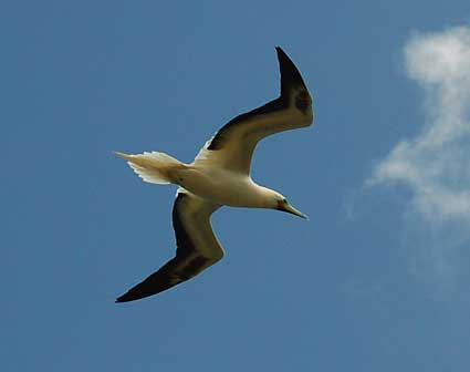 Red-footed booby returning to nesting colony.