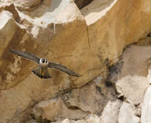 Adult peregrine falcon at Morro Bay, a long-time nest site.