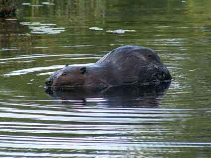 This beaver is home to a whole community of mites and beetles.