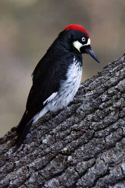 A male acorn woodpecker near Groveland.