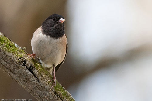 "Male ""Oregon"" dark-eyed junco: does smell influence mate choice?"