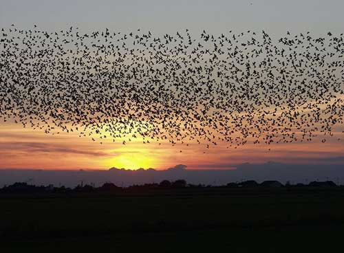 Starlings blacken the sky over Denmark.