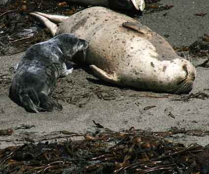 Lunchtime at Point Lobos: female harbor seal and pup.