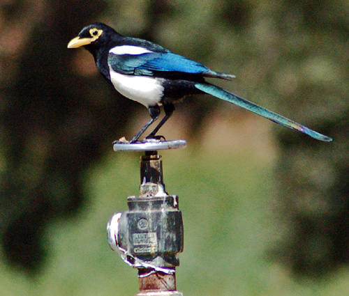 Yellow-billed magpie exploring plumbing in Dell Valle Regional Park.