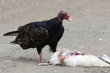 Turkey vulture at work on a western gull carcass.