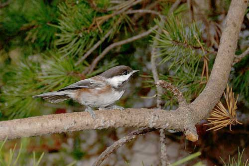 The northern chestnut-backed chickadee can be seen around northern California in the holiday season.
